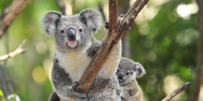 Koala genomic program